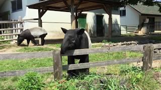 躓きかけるマレーバク (東武動物公園) 2017年5月20日