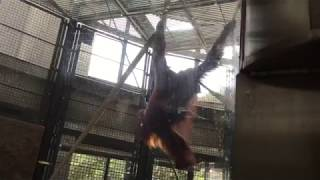 ボルネオオランウータン (多摩動物公園) 2017年8月27日