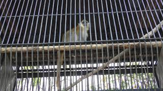 サバンナモンキー の『リド』 (大牟田市動物園) 2019年4月19日