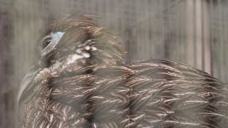 Himalayan Monal (Yokohama Zoological Gardens [ZOORASIA], Kanagawa, Japan) September 16, 2020