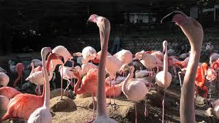 フラミンゴ池 (神戸市立王子動物園) 2019年11月8日