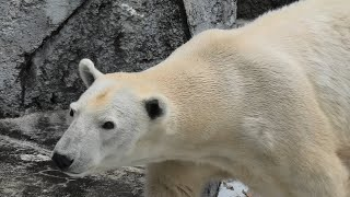 Polar bear (TOBE ZOOLOGICAL PARK OF EHIME PREF., Ehime, Japan) December 25, 2019