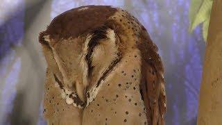 Oriental bay owl & Barn Owl (MARUMIE PLAZA Animal world, Osaka, Japan) December 18, 2018