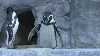 Humboldt penguin (Shizuoka Municipal Nihondaira Zoo, Shizuoka, Japan) December 10, 2017