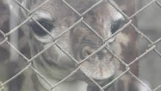 マサイキリン の赤ちゃん (鹿児島市 平川動物公園) 2019年4月17日