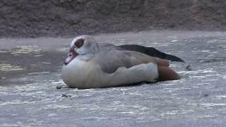 エジプトガン (平川動物公園) 2018年7月29日