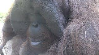 ボルネオオランウータン の『ドーネ』と『ブロトス』 (いしかわ動物園) 2019年8月18日