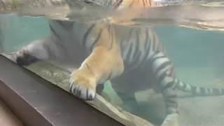 アムールトラ の『フジ』 (日本平動物園) 2018年8月5日