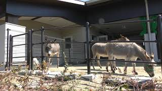 ロバ (仙台市八木山動物公園) 2019年4月13日