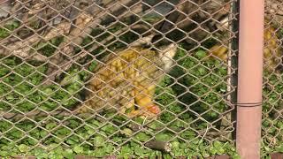 Black-capped Squirrel Monkey (Himeji city zoo, Hyogo, Japan) February 16, 2019