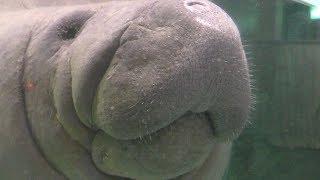 2頭の アメリカマナティー (新屋島水族館) 2019年2月28日