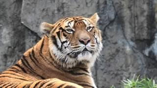 Tiger (TOBE ZOOLOGICAL PARK OF EHIME PREF., Ehime, Japan) December 25, 2019