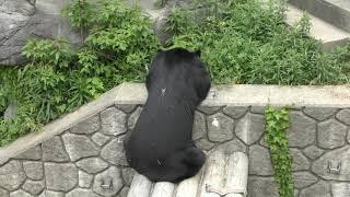 ニホンツキノワグマ の『ゲンキ』と『ハナコ』 (福岡市動物園) 2019年4月23日