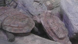 パンケーキリクガメ (仙台市八木山動物公園/セルコホーム ズーパラダイス八木山) 2018年1月20日