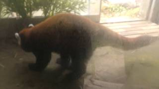 レッサーパンダのコウセイとデール (よこはま動物園ズーラシア) 2017年11月23日