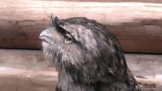 Tawny Frogmouth (KOBE ANIMAL KINGDOM, Hyogo, Japan) June 24, 2020