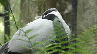 アネハヅル と シュバシコウ (鹿児島市 平川動物公園) 2019年4月17日