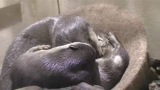 じゃれ合う2匹のコツメカワウソ (アクアパーク品川) 2017年9月29日