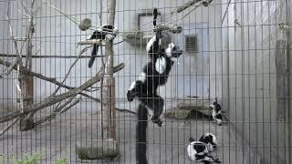 エリマキキツネザル (広島市安佐動物公園) 2018年5月20日