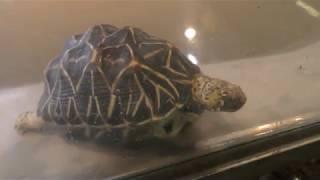 Indian star tortoise (Oji Zoo, Hyogo, Japan) September 16, 2018