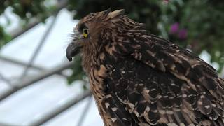 Owl Flying show [1/3] (MATSUE VOGEL PARK, Shimane, Japan) November 29, 2019