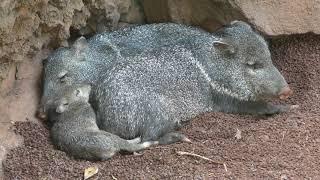 クビワペッカリー の赤ちゃん (伊豆シャボテン動物公園) 2019年10月1日
