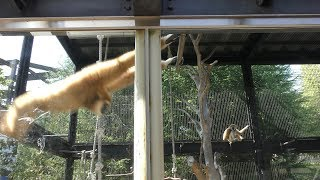 シロテテナガザル の大車輪 (いしかわ動物園) 2019年8月18日