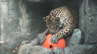 ボール遊びをする ジャガー の『ロン』 (天王寺動物園) 2019年11月20日