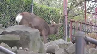ホンシュウジカ (茶臼山動物園) 2018年4月15日