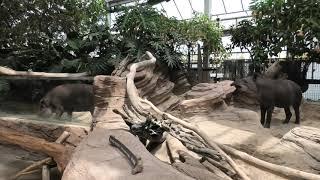 Brazilian tapir (KOBE ANIMAL KINGDOM, Hyogo, Japan) April 23, 2021