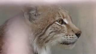 ヨーロッパオオヤマネコの『ダンケ』と『リーベ』 (宇都宮動物園) 2018年4月30日
