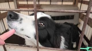 牧羊犬 (国立公園 九重やまなみ牧場) 2019年12月6日