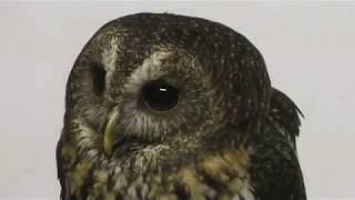 Mottled owl (Fuji Kachoen Garden Park, Shizuoka, Japan) November 25, 2018