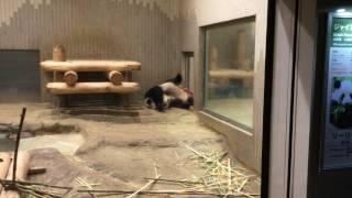 ジャイアントパンダ(上野動物園) 2017年8月9日