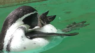 Humboldt penguin (Chiba Zoological Park, Chiba, Japan) September 24, 2017