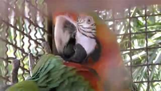 ハルクインコンゴウインコとカタリーナコンゴウインコ (熱川バナナワニ園) 2018年3月18日