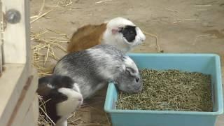 モルモット と ウサギ (足羽山公園遊園地) 2019年11月1日