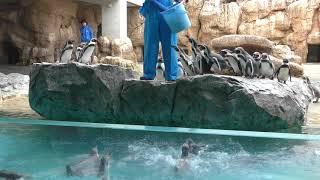Humboldt penguin Feeding time (Nagasaki Penguin Aquarium, Nagasaki, Japan) December 24, 2017