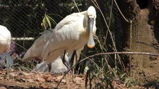 ヘラサギ (市川市動植物園) 2018年3月4日
