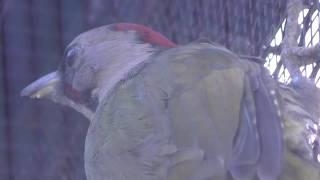 アオゲラ (井の頭自然文化園) 2018年9月9日