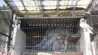 オオワシ (仙台市八木山動物公園/セルコホーム ズーパラダイス八木山) 2018年1月20日