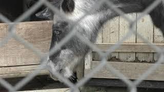 Shetland pony (Hakodate Park, Hokkaido, Japan) August 9, 2019