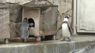 フンボルトペンギン (福岡市動物園) 2019年4月23日