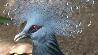 Victoria crowned-pigeon (KOBE ANIMAL KINGDOM, Hyogo, Japan) June 24, 2020