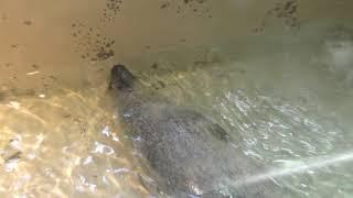 ゴマフアザラシ の『チーチョ』 (いしかわ動物園) 2019年8月18日