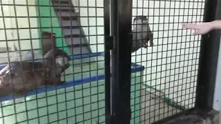 コツメカワウソ (東武動物公園) 2017年11月11日