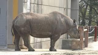 クロサイの『クー』 (愛媛県立とべ動物園) 2018年3月25日