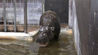 コビトカバ の『ショウヘイ』 (上野動物園) 2020年9月11日
