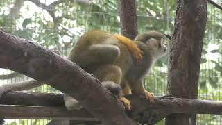 Common Squirrel Monkey (Neo Park Okinawa, Okinawa, Japan) May 9, 2019