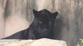 ジャガー の『アトス』 (神戸市立 王子動物園) 2020年8月4日